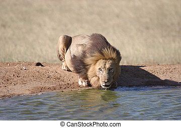 Lion Looking at Camera While Drinking