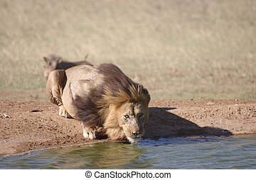 Lion with the Wind in his Hair