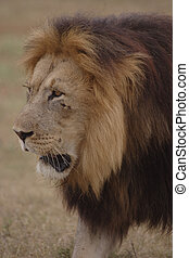 Lion Kalahari Black-Maned