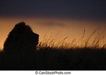 león, largo, pasto o césped