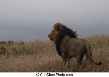 Lion Proud Kalahari