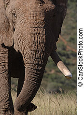Elephant Tusk in the Grass