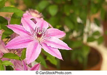 white and purple clematis - this photo is taken in Nagoya...