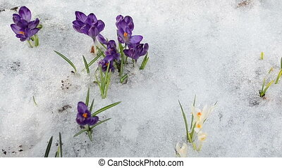hand gather saffron snow - hand gather pick crocus saffron...