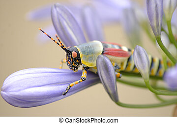Locust on Agapanthus Flower