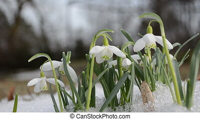 spring snowdrop snowflake flowers blooms between snow in...