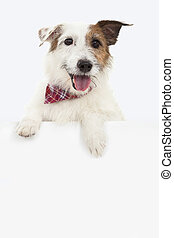jack russel terrier dog with blank billboard