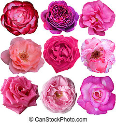 set of 9 pink roses blooming