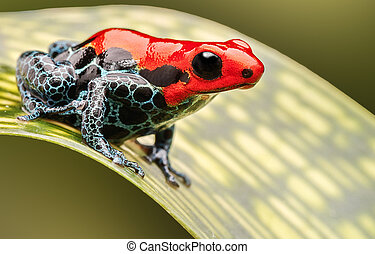 red poison arrow frog, beautiful macro of a tropical animal...