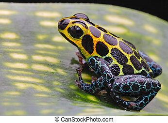 poison dart frog - tropical pet animal, a poison arrow frog...