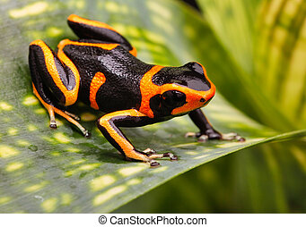 poison dart frog - Red striped poison dart frog A poisonous...