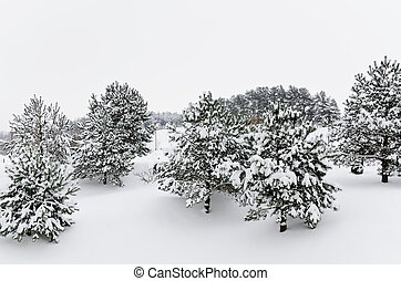 Fir Trees - Winter Fir Trees Covered With Deep Snow