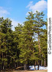 bosque, pino