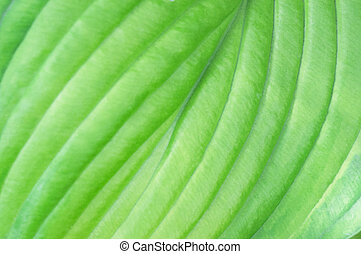 Closeup of Patterns in Hosta Leaf - Closeup showing the...