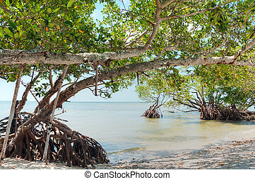 Mangroves in Florida in the Gulf.
