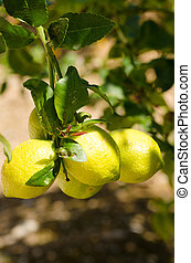 Lemon tree branch loaded with ripe fruit