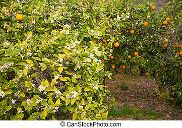 Orange orchard, trees in flower together with some ripe...
