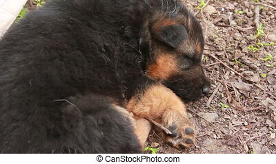 German Shepherd with puppies - German Shepherd dog with...