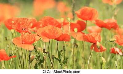 red poppies - Field of beautiful red poppies