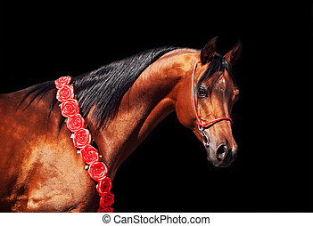 purebred bay arabian stallion on the black background