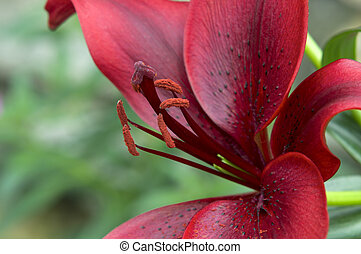 Red Asiatic Lily Petals and Stamens - Red Asiatic Lily...