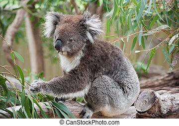 nativo, australiano, Koala