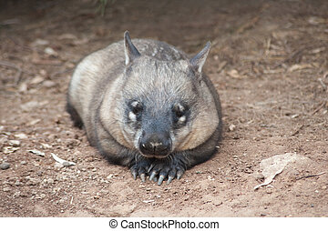 native australian Wombat lying and looking out for something