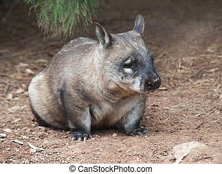 native australian Wombat sitting and looking out for...