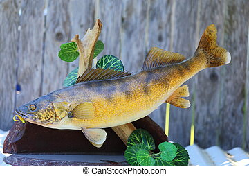 Walleye Mount - A close up view of a mounted walleye fish...