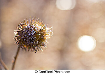 Thistle - The dried-up thistle in the morning spring wood