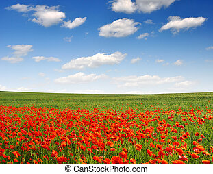 Red poppy with blue sky