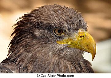 sea eagle close up