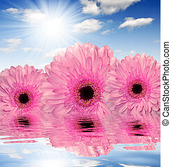 pink gerberas mirrored on water level