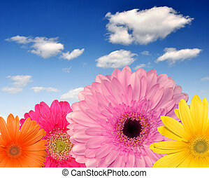 gerberas - colorful gerberas