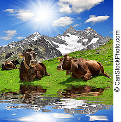 Cows on the meadow.In the background of the Ober Gabelhorn...