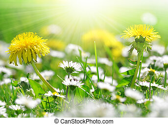 dandelions and daisy in the meadow