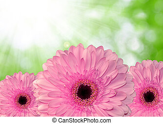 pink gerberas on green natural background