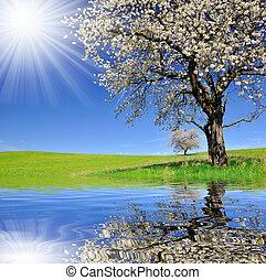 cherry tree  - Blooming cherry tree