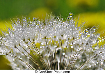 dewy dandelion close up