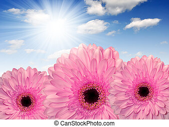pink gerberas on blue sky