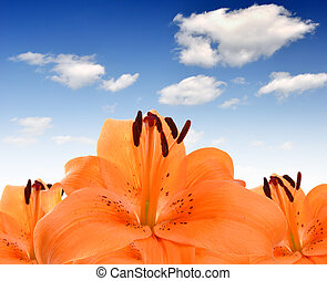 orange lily  - floral background with orange lily