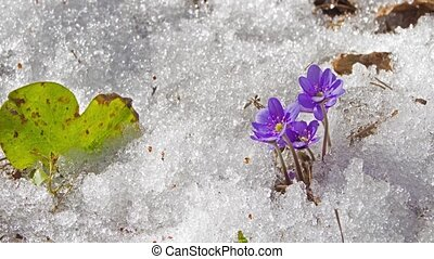 melting snow and spring flowers