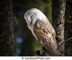 Barn owls - Barn owl perched on a branch