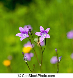 Delicate Campanula patula close up image with soft selective...