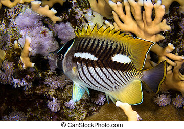 Chevron butterflyfish nightcolour - Chevron butterflyfish...