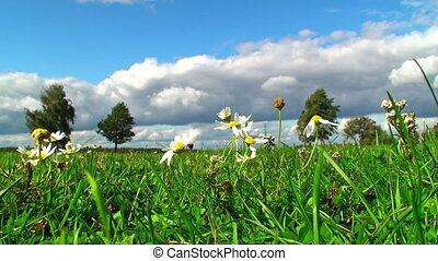 Camomiles on meadow in summer