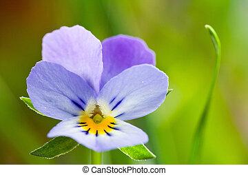 sauvage, Printemps, violettes, fleurs, fin, haut