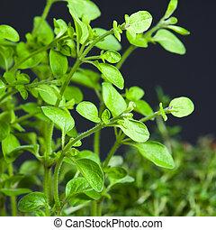 Closeup of fresh basil