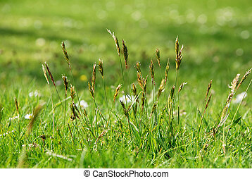 Detail of tall grasses in a meadow - Detail of tall grasses...