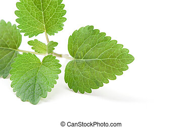 fresh green leaf of melissa isolated on white background